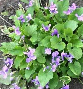 Растения многолетние