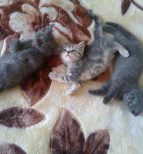 Продам шотландских котят маленькие комочки счастья