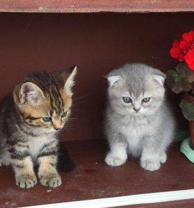 Котята полукровки от кошки скотиш страйт