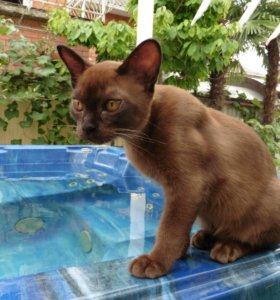 Котята породы бурмы