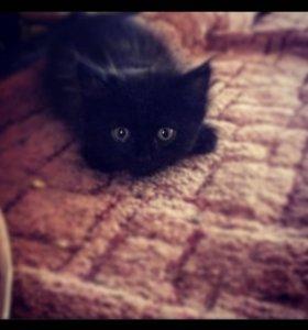 Подарю котёнка от персидской кошки