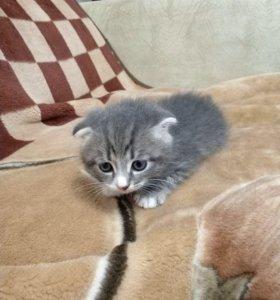 Отдам веслоухого шотландского котенка
