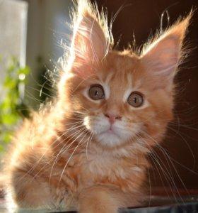 Котёнок Мейнкун