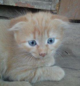 Вислоухий рыжий котёнок