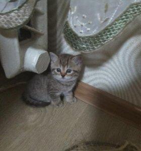 Котенок скотиш страйт (девочка)