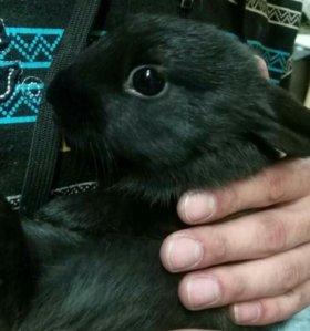 Декоративные торчиухие карликовые кролики