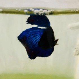 Рыбка петушок на ЖБИ
