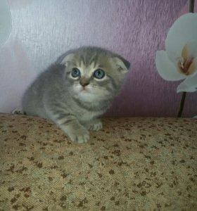 Котята британские вислоухие( открыта бронь)