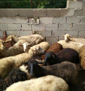 Овцематки