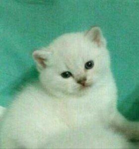 😺милые Шотландские котята 🌸