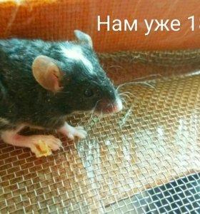 Мышки Дамбо