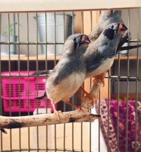 Птенцы зебровых амадин с клеткой
