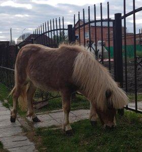 Шетленский пони