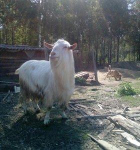 Козы молочный, овцы и бараны