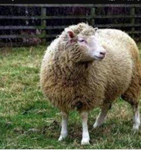 Овцы оптом и розница