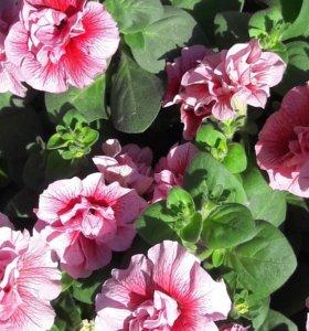 Петуния крупноцветковая и махровая и др.цветы