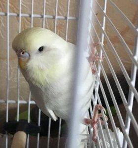 Попугай получех