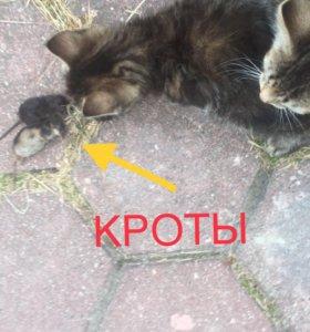 2 котёнка-крысолова