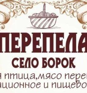 Перепела Техасский бройлер, Манджурский Золотистый