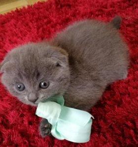 Шотландские котята(скоттиш страйт)