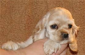 Продам щенков американского кокер- спаниеля