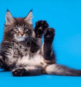 Котики Мейн-кун