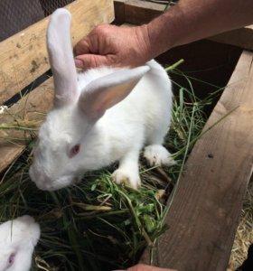 Самец кролик