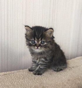Котёнок британской породы!