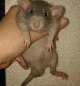 Крыса ручные мальчики