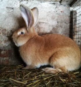 Продаются кролики мясных пород