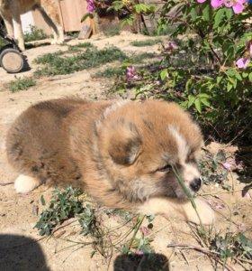 Продаётся щенок Акита-Ину девочка 2 месяца