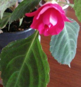 Бальзамин розовый