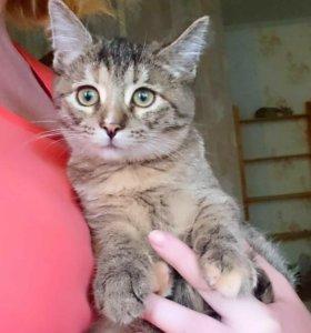 Котенок девочка полосатая 3 месяца