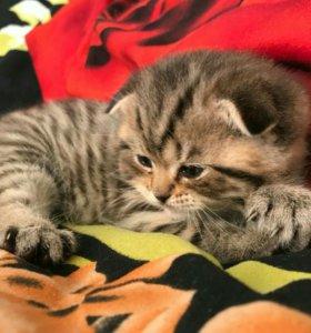 Чистокровный кот