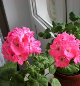 Герань розовая, махровая