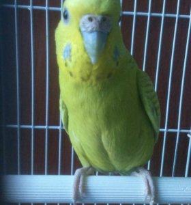 Волнистый попугай .