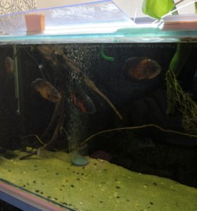 Рыбы астронотусы