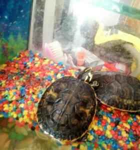 Черепахи желтоухие