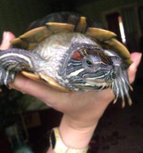 Красноухая черепаха, самочка