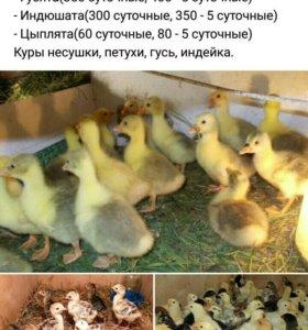 Цыплята ,утята и тд.