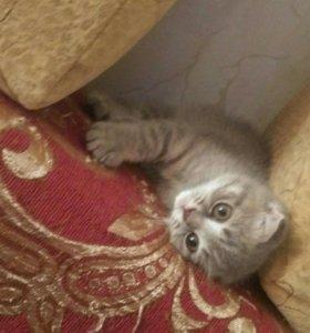 Продаю красивых породистых котят