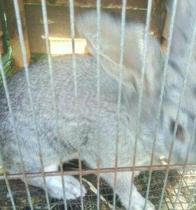 Кролики (Привитые!!!)