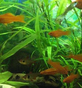 Гуппи, меченосцы, моллинезия( живородящие рыбки )