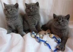 Британские котята, 3 котенка,родились 20 июня