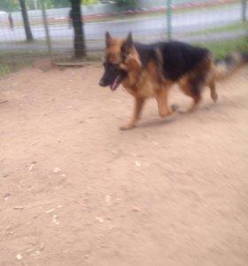 Сука . Немецкая овчарка .щенок.