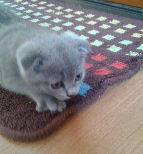 Котята породы шотландские вислоухие