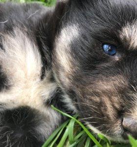 Девочка щенок хаски разные глаза