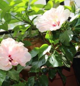 Гибискус розовый Китайская роза