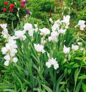 Садовые ирисы