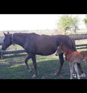 Лошади , цена договорная , без обмена- бартер